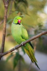 Gullu Maharaj (NotMicroButSoft (Fallen in Love with Ghizar, GB)) Tags: pet bird nature wildlife gulu roseringedparakeet avianfauna redneckedparakeet