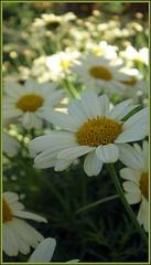 Margaritas (Déjate guiar!) Tags: flora murcia margaritas
