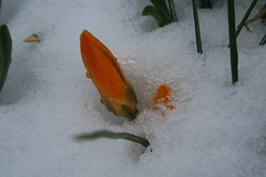 Crocus in the Snow (schochoh) Tags: ourkentucky