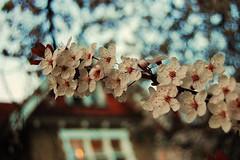 And... damn, spring is here again. (mendhak) Tags: flowers light house tree window cherry spring flickr branch blossom sakura geolocation geocity geocountry camera:make=nikoncorporation camera:model=nikond40 exif:make=nikoncorporation exif:lens=180550mmf3556 geostate exif:model=nikond40 exif:aperture=ƒ48 exif:focallength=35mm exif:isospeed=200