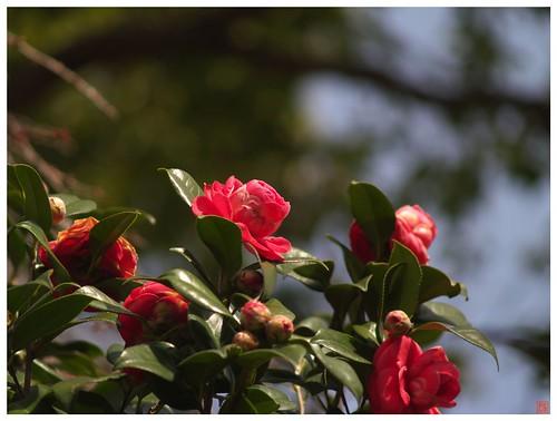 Camellia 090317 #03