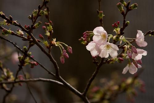Flowering Trees - 1