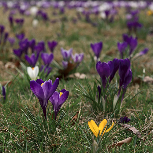 Missouri Botanical Garden (Shaw's Garden), in Saint Louis, Missouri, USA - crocuses