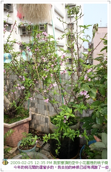 09.02.25 樓頂桃子開花