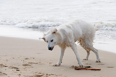 090322-NLDF-8159O-022 (rik.vanoijen) Tags: sea dog white beach wet water netherlands strand sand shepherd nederland zeeland dirty berger schferhund dishoek whitegermanshepherd bergerblancsuisse witteherder canadianshepherd whiteswissshepherd swissshepherd bergerblanc americancanadianwhiteshepherd zwitserseherdershond
