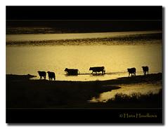 Atardecer dorado (HanaHoudkova) Tags: sunset españa landscape atardecer golden cow spain cows paisaje krávy vaca vacas dorado larioja cameros krajina západslunce zlatý kráva platinumphoto theperfectphotographer photoshopcreativo lesamisdupetitprince sensationalphoto