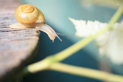 ~ bit by bit ~ (pipitdapo) Tags: green nature golden soft haiku snail explore v uncropped schnecke gastropod cpa goldenapplesnail sooc goldensnail greenthursday bokehlicious imago2007 imagoism naellethesnail