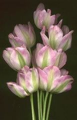 03156 Tulipa greenland 320 (horticultural art) Tags: flower design erotic tulip bouquet horticulture