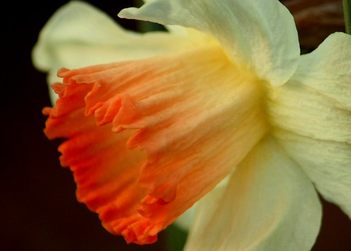 Daffodil 2