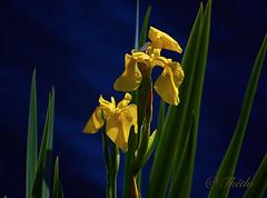 070505 im 090327 © Théthi (thethi (pls, read my 1st comment, tks a lot)) Tags: nature fleur sauvage belgique belgium jaune bleu iris eau mai wallonie hainaut bestof2007 explore setwater setflowers setmai fact40 setvosfavorites ruby5 faves54