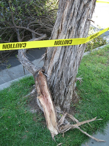fallen Bottlebrush branch