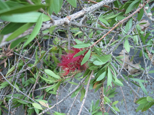 Bottlebrush tree flower