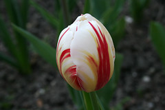 tuliperouge_blanc03 by Planete-Vivante Marie Sophie, on Flickr