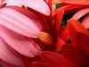 petali crespi