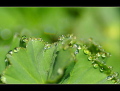 morning droplets....... (atsjebosma) Tags: macro nature garden droplets spring bokeh nederland thenetherlands natuur explore tuin groningen leves thursday donderdag alchemilla vrouwenmantel allgreen druppeltjes april2009 abigfave platinumphoto morgendauw atsjebosma hggt morningdroplets