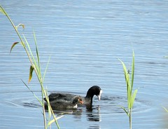 coot and baby (Black Cat Photos) Tags: uk england baby black bird water blackcat photography photo europe toes rail m coot lobed fulica rallidae featherless blackcatphotography blackcatphotos asbaldasacoot