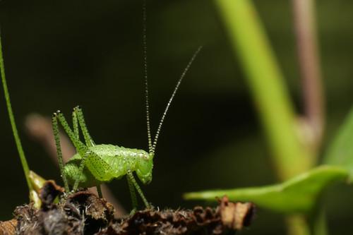 kleiner Grashüpfer Leptophyes punctatissima