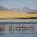 Salar wildlife - BOLIVIA