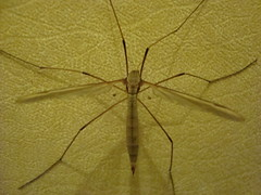 Love That Body (xCupidxStuntx) Tags: uk bug insect daddy spider fly long legs crane creepy british crawly