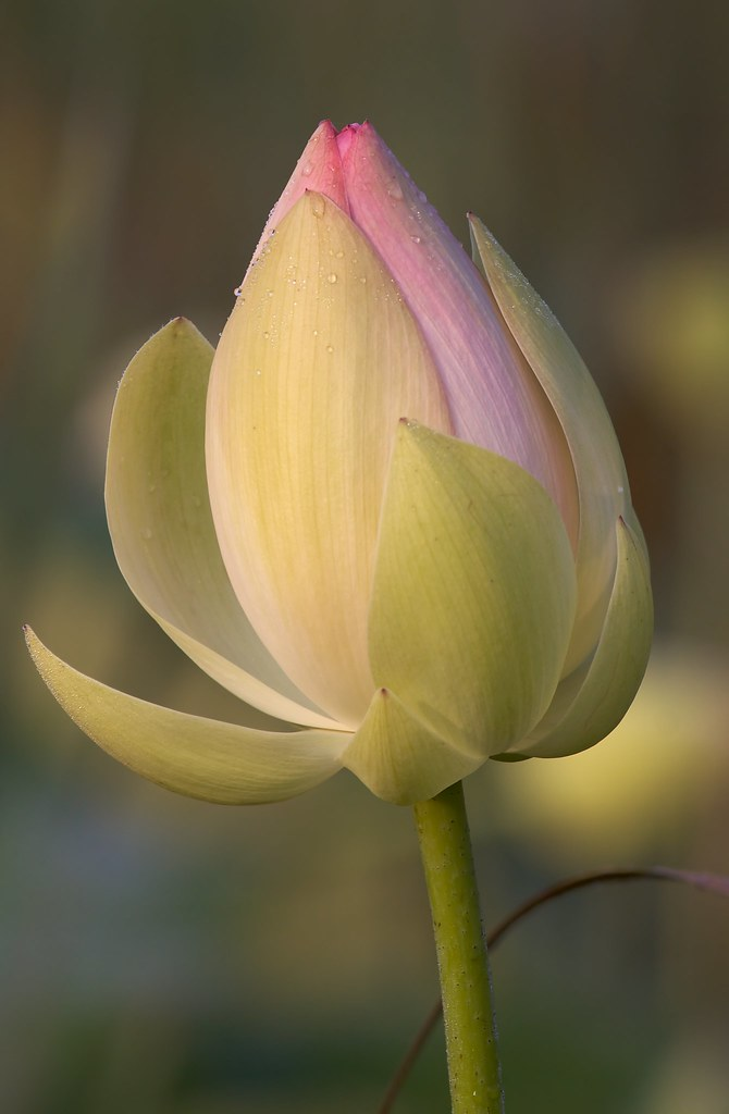 Lotus bloom opening