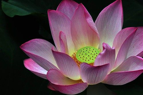 One lotus flower is like a complete world
