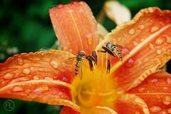 (c'estlavie!) Tags: sky flower nature fleur nikon bee nuages abeille insecte sauterelle greatphotographers blandylestours colorphotoaward flickraward