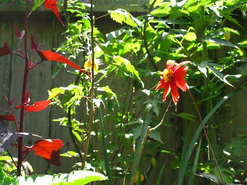 2009-08-01 garden; red dahlia, plus Atriplex hortensis