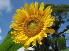 Sunflower (ToJoLa) Tags: summer sky canon zomer sunflower 1001nights 2009 castricum zonnebloem grouptripod canong10