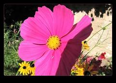 pink flower (eagle1effi) Tags: canon canonpowershotsx1is regionstuttgart tubingen canonmacro macro byeagle1effi artexpression masterclass naturemasterclass colorful reutlingen honau picnik abigfave scenery sceneryfoliage lndle wahrzeichen deutschland germany badenwrttemberg badenwuerttemberg tuebingen wrttemberg stadttbingen schloslichtenstein southofstuttgart sehenswrdigkeiten orientierungspunkt canonsx1ispowershot canonsx1is powershot landmark sehenswrdigkeit landmarks topptipp amust schmuckkrbchen cosmosbipinnatus effiartgermany eagle1effi effiarteagle1effi bridgecamera nature blume flora yourbestoftoday fauna foliage blumen natur damncool cosmea kosmea castlelichtenstein lichtenstein sx1 flower fiori fiore flowers beautifulcityoftubingengermany beautifulcityoftbingengermany tubinga tbingen dibeng dibenga effiart kunst erwin effinger edition tubingue