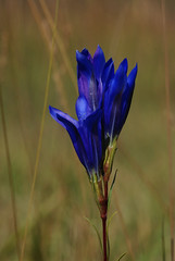 Gentiana pneumonanthe - gentiane pneumonanthe (floky) Tags: nature flora slovenia slovenija botanique flore slovénie floky