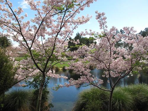 Cherry Blossom in Palmerston North