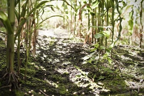 Kukurūzų lauke