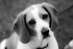 Jamie Dog (vswag) Tags: blackandwhite bw beagle dogs monochrome oregon centraloregon umatilla twitter platinumheartaward