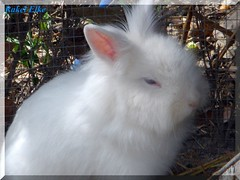 Un lindo bichito para mi madre... (akel_lke ) Tags: espaa blanco animal azul ojo spain europa conejo raquel murcia extico elke madre pelo peluche rakel ojosazules bichito algodn dedicacin mimadre rakelelke blanconieve