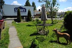 Lowe's Improving Home Improvement truck arrives, Rosie waits next to the patio set, Broadview, Seattle, Washington, USA (Wonderlane) Tags: seattle usa washington delivery lowes broadview 9501 improvinghomeimprovement truckarrives rosiewaitsnexttothepatioset dobermanridgebackshepardmix