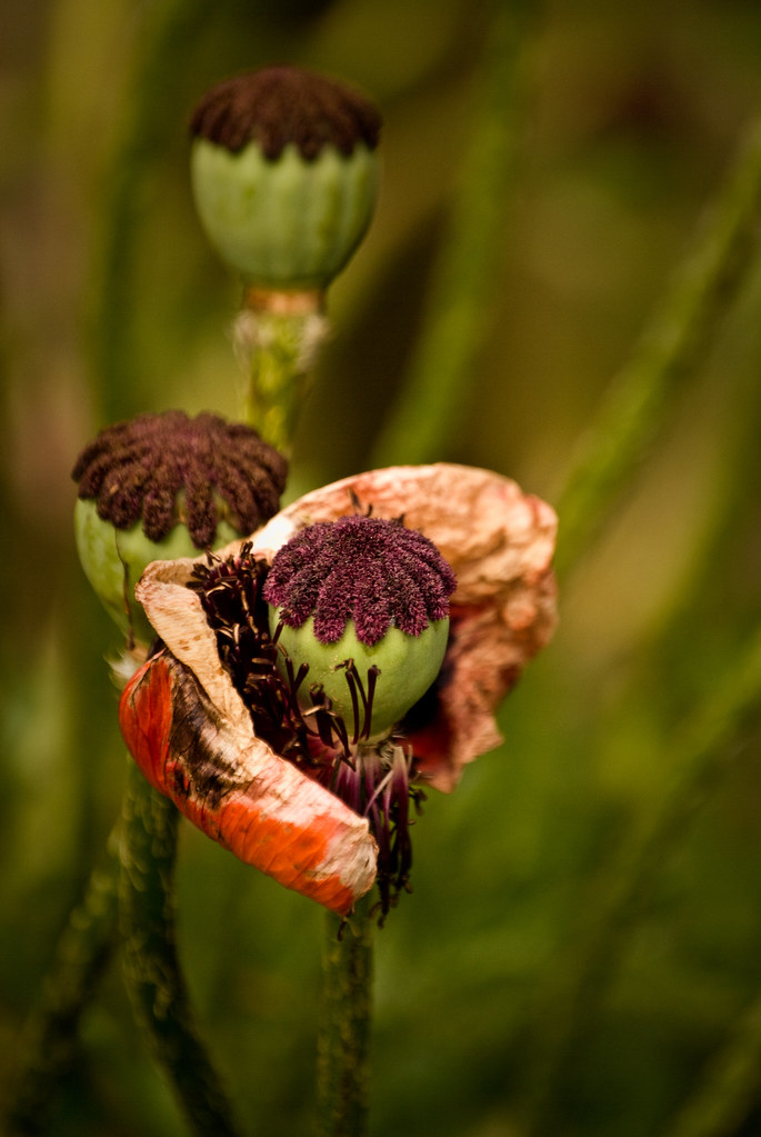 100611_ decaying poppies #2