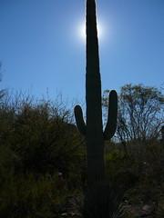 Saguaro and Sunshine (alist) Tags: phoenix garden botanical desert alicerobison