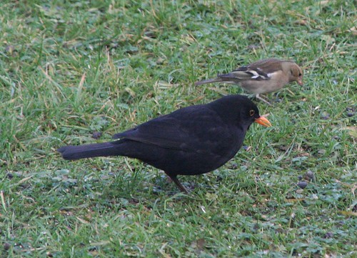 Blackbird and Chaffinch