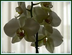 A Dieu George! (Ria Rotscheidt) Tags: flowers white tropical orchidee wit bloemen tropisch