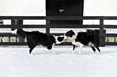 Corpach Dogs
