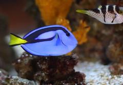 Dory from Finding Nemo (San Diego Shooter) Tags: fish sandiego lajolla fishes dory findingnemo underthesea bluetang birchaquarium doryfindingnemo birchaquariumscripps