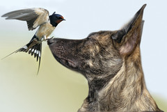 (moniek de jager) Tags: dog bird hond vogel herder hollandse