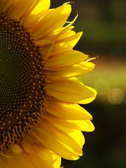 Happy Valentine's Day!!! (Amar Jain) Tags: sun flower yellow aplusphoto