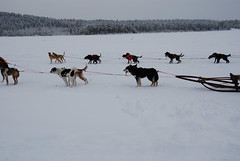 Pull (Let Ideas Compete) Tags: winter vacation dog snow cold dogs fur frozen market sweden arctic pack sledding nordic sverige scandinavia musher farnorth artic scandinavian arcticcircle belowzero frozenlake sami jokkmokk mushers dogsled svenska articcircle saami northernsweden soumi norrbotten belowfreezing animalsinsnow smi norbotten below0 jokkokk insidethearticcircle insidethearcticcircle