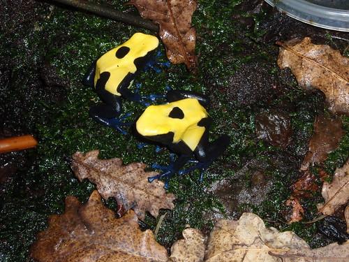 Dendrobates tinctorius citronella