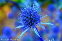 The blue (Elisabeth Gaj) Tags: flowers blue macro nature natur explore kwiaty blueflowers elisabethgaj diamondclassphotographer flickrdiamond 100commentgroup