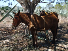 mules in the shade (AS500) Tags: mexico yucatan merida sisal mule hacienda sotutadepeon