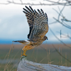 S-T-R-E-T-C-H those wings (mnlamberson) Tags: bird hawk britishcolumbia birdsinflight ladner northernharrier circuscyaneus brunswickpoint theinterestingshot