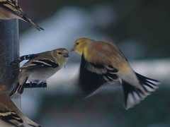 goldfinch_feeder_fight_160 (Mike Mills Tweed) Tags: ontario canada goldfinch january feeder american americangoldfinch carduelistristis thomasburg
