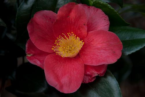 Camellia in Royal Botanic Gardens, Kew
